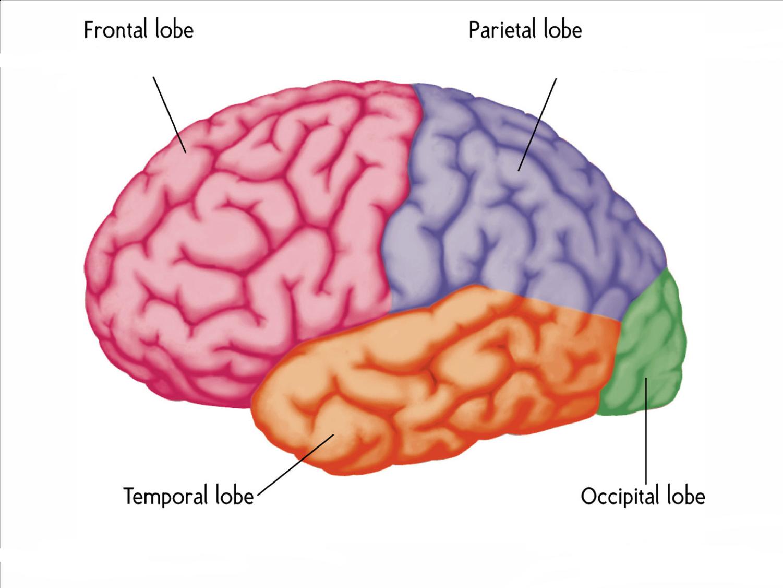 Cerebral Cortex - Rishi Kathrotia - AP Psych 2A