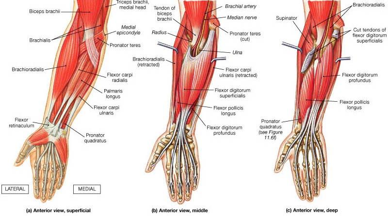 Forearm - CYHS Applied Sports Medicine