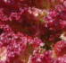 https://www.seedsavers.org/lolla-rossa-organic-lettuce