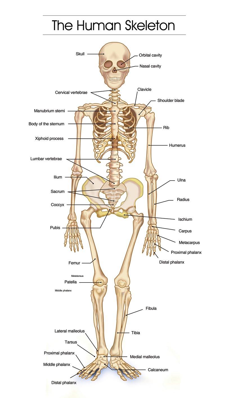 The Human Skeleton - Macomber PE