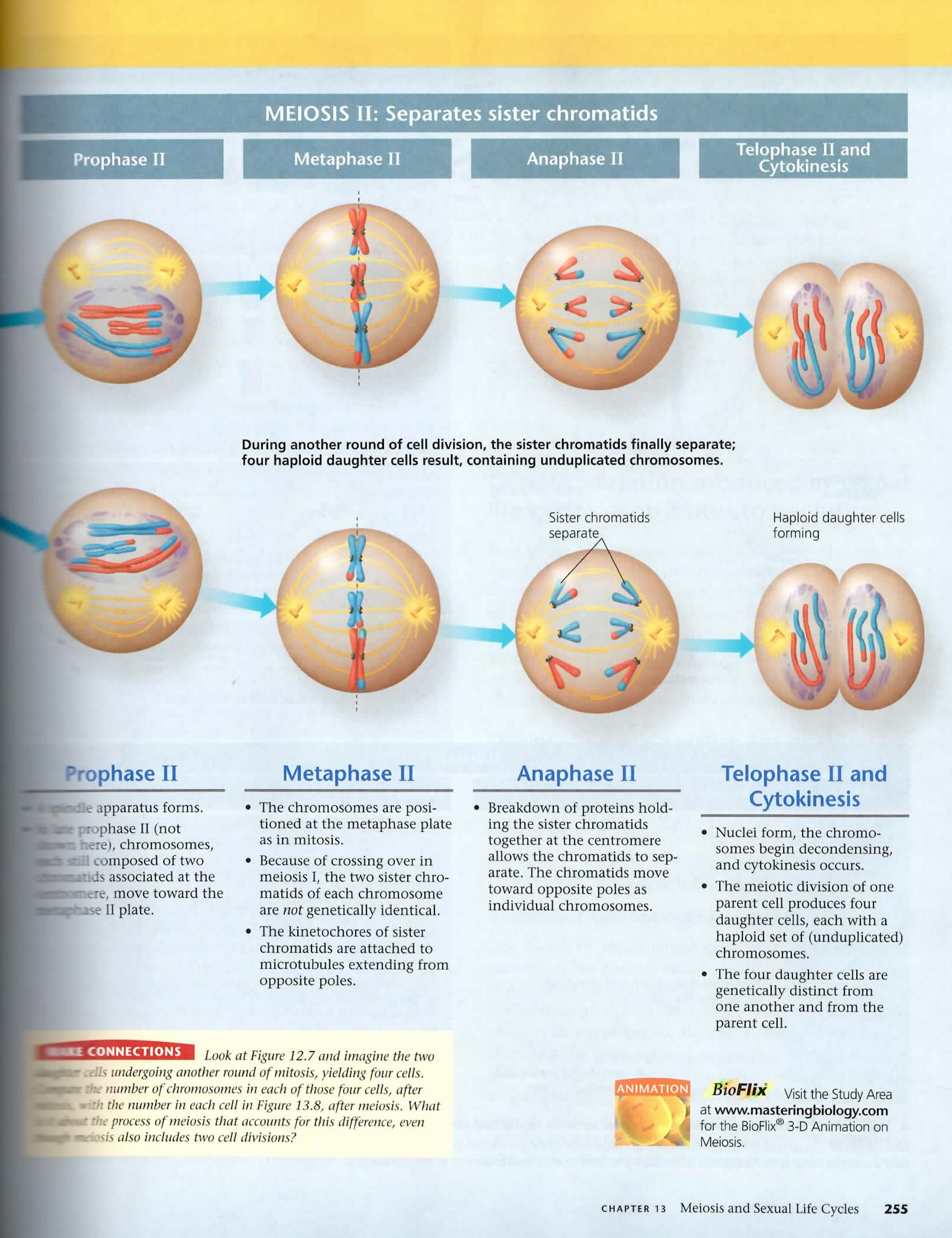 Part Part A Identifying The Stages Of Mitosis – Mitosis Worksheet and Diagram Identification