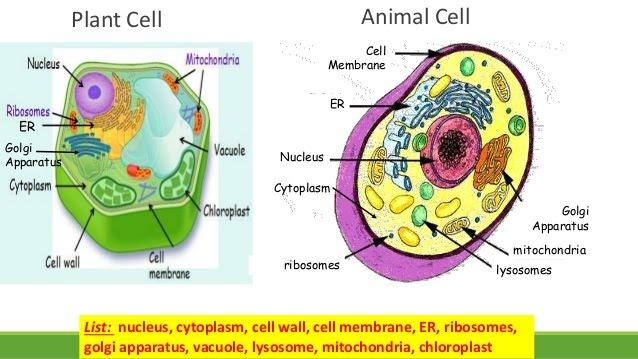 plant vs animal cell 7th 5 638