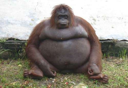 Image result for fattest animal in the world