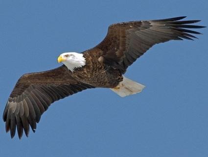 if i were an eagle essay