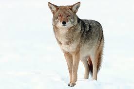 https://sites.google.com/a/freeholdtwp.k12.nj.us/errickson-media-center/online-quizzes/coyote.jpg