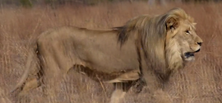 http://www.smithsonianmag.com/videos/category/science/how-lions-choose-their-prey/