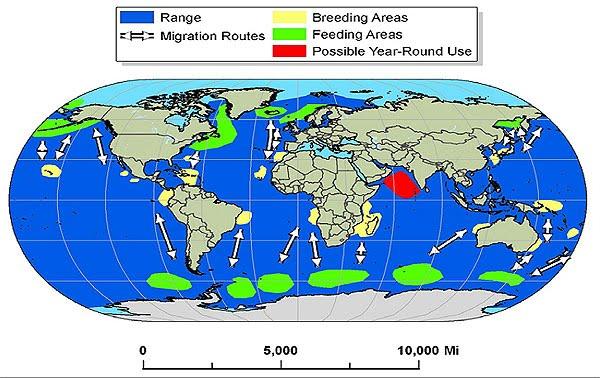 Migratory Whales