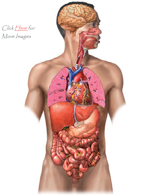 human body organs diagram unlabeled - photo#8