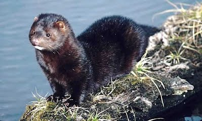The Mink