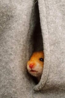Different types of Hamsters - Why you should get a hamster