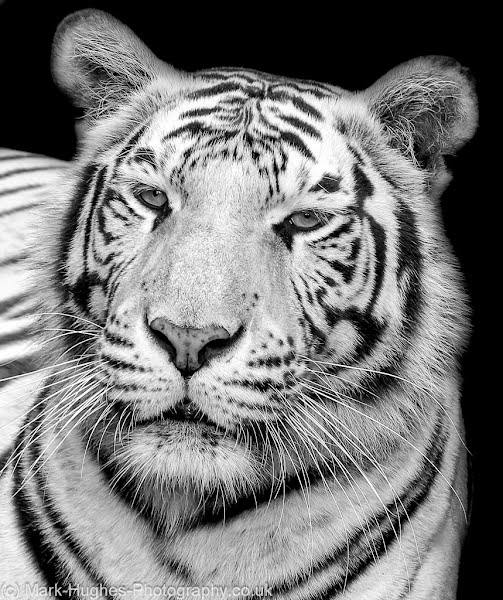 Mark Hughes: White Tiger, 2012