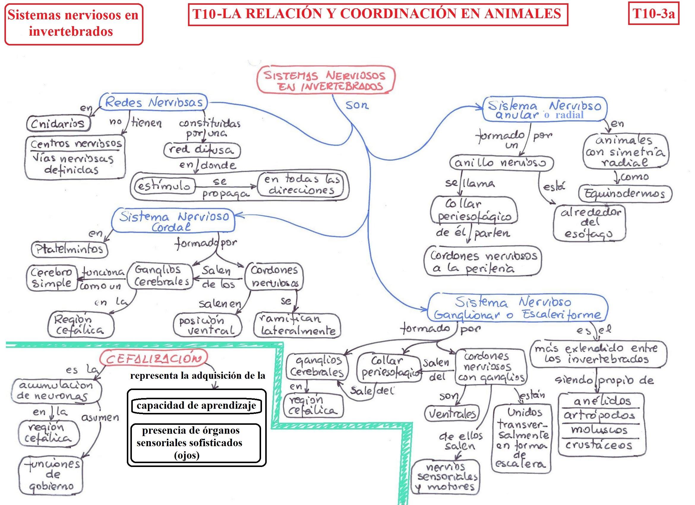 T10-3a-sistema nervioso invertebrados.jpg