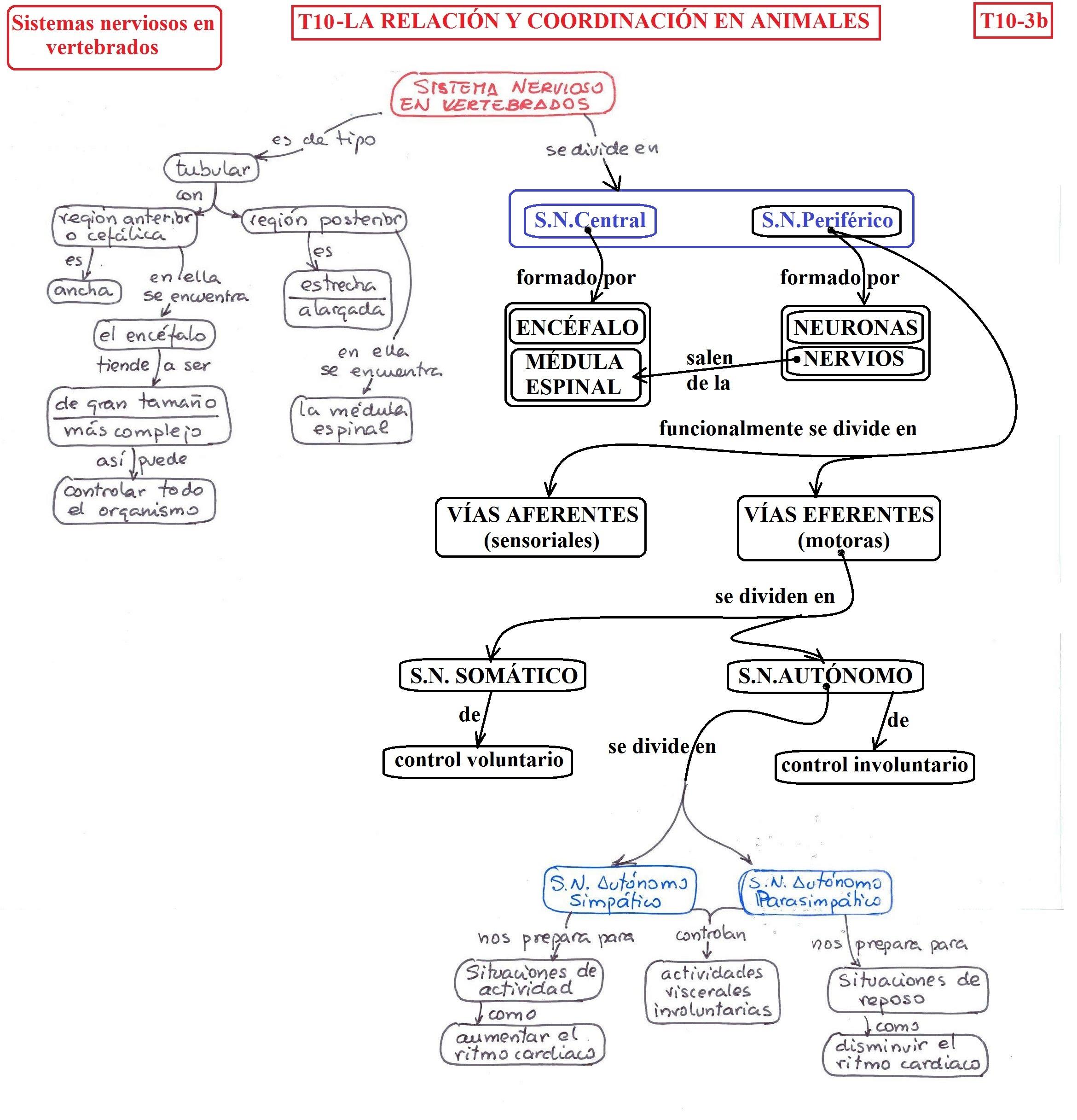 T10-3b-sistemas nervioso vertebrados.jpg