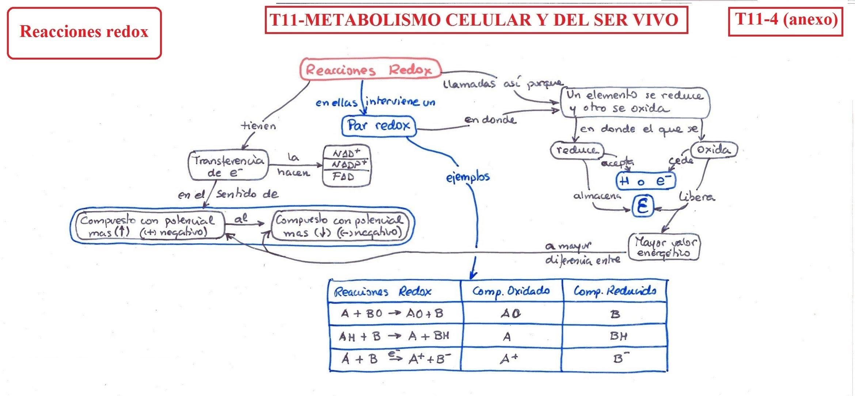 T11- Metabolismo celular y del ser vivo - B·I·O·L·O·G·I·A..