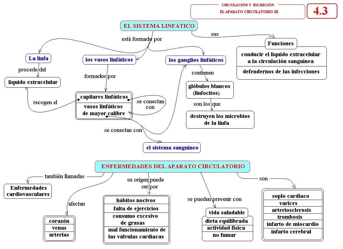El aparato circulatorio: el sistema linfático
