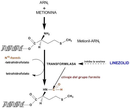 Linezolid Informe Tecnico Info Farmacia