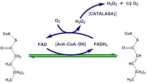 Metabolismo de los ácidos grasos: conceptos básicos - info..