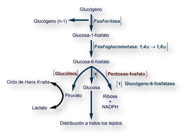 en donde se encuentra la glucosa 6 fosfatasa