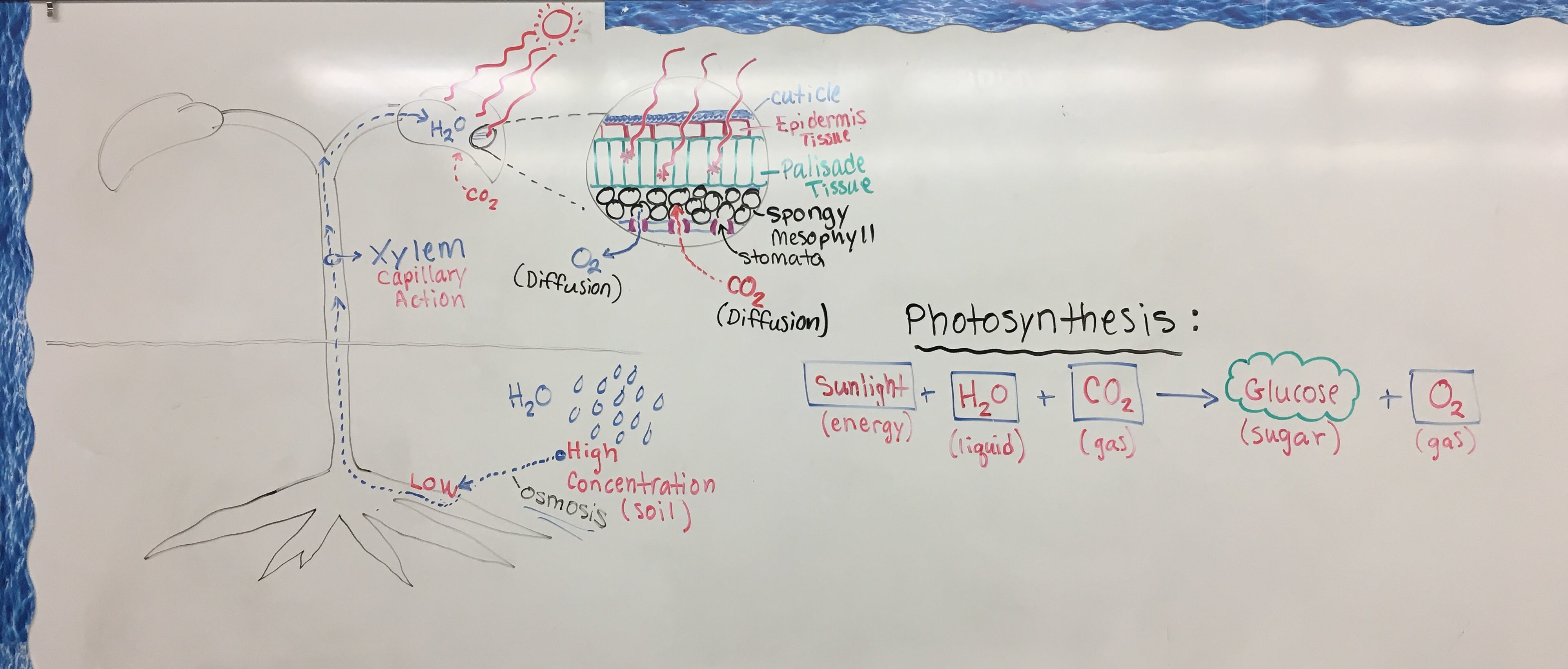 11/29/16) ~ NOTES: Plant Anatomy & Photosynthesis - Mr. Cuthbertson