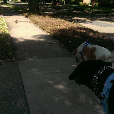 Dallas dog walkers