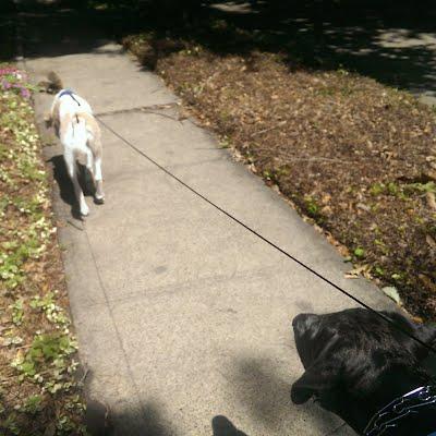 Dallas dog walker