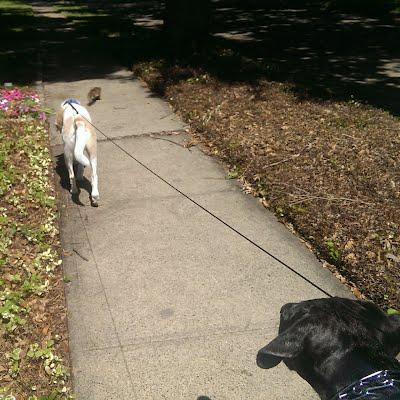 Dallas dog walking