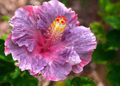 purple hibiscus gt purple hibiscus
