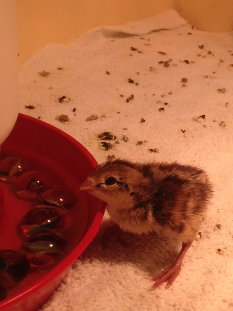 3 day old Northern Bobwhite Quail Chick