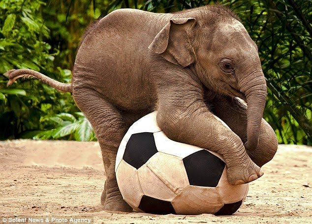 Asian elephant endanger images 507