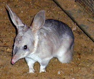 classification australian greater bilby 6ml