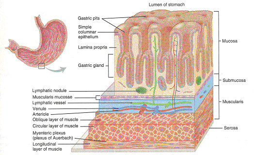 walls of the stomach: