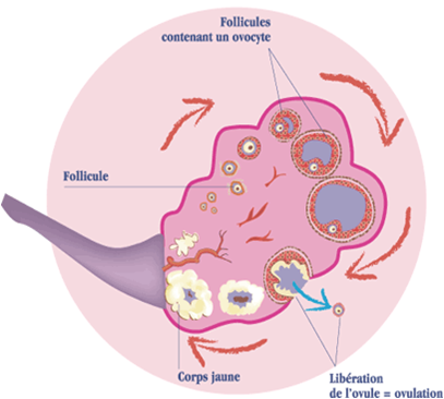 Partie 2 : La reproduction humaine - SVT