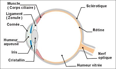 Partie 1 de l 39 oeil au cerveau quelques aspects de la vision svt - Couche du globe oculaire ...