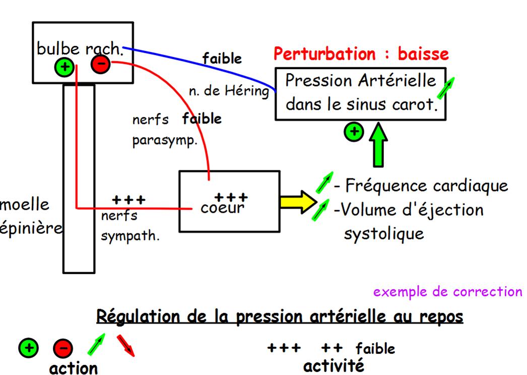 La boucle de régulation de la pression artérielle - Site ...