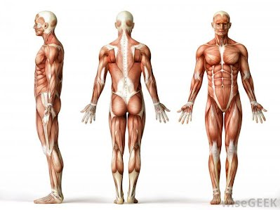 The Language of Anatomy - Lovejoy Anatomy and Physiology