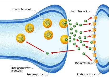 the importance of the chemical messengers serotonin neurotransmitters to proper body function In one review on the importance of zinc,  required for proper function of red  roles in the body, affecting numerous chemical messengers that.