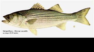 Anadromous fish - Constraints on River Restoration Potential
