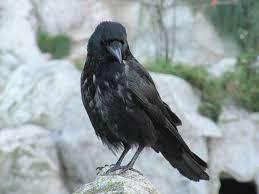 Mockingbird Black