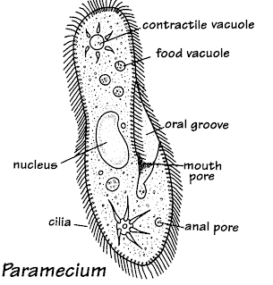 Diagram Of A Table on paramecium diagram