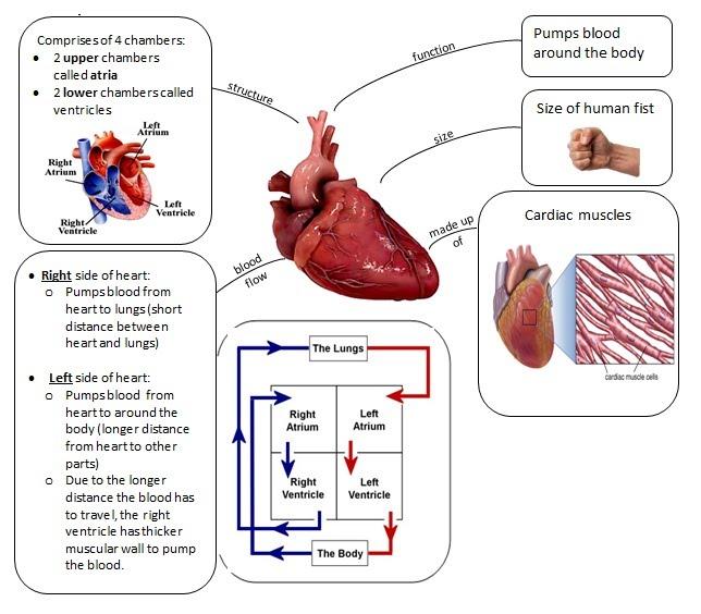 3.2b The Human Heart - The Science Flipped Classroom