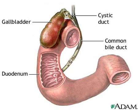 small intestine valent mcmahan homepage : duodenum diagram - findchart.co
