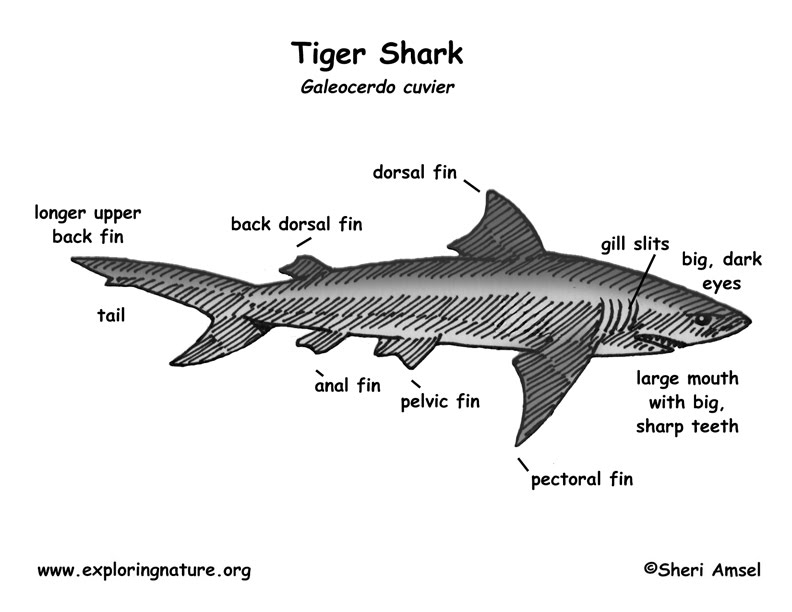 Diagram tiger shark cap diagram ccuart Image collections