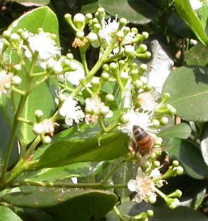 Vi Plants That Attract Honey Bees Center For Complementary And Alternative Medicine