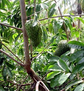 the effectiveness of guyabano as medicine Fruit rind of guyabano  the philippines is considered a developing country that still believes on the effectiveness of traditional medicine medicinal.