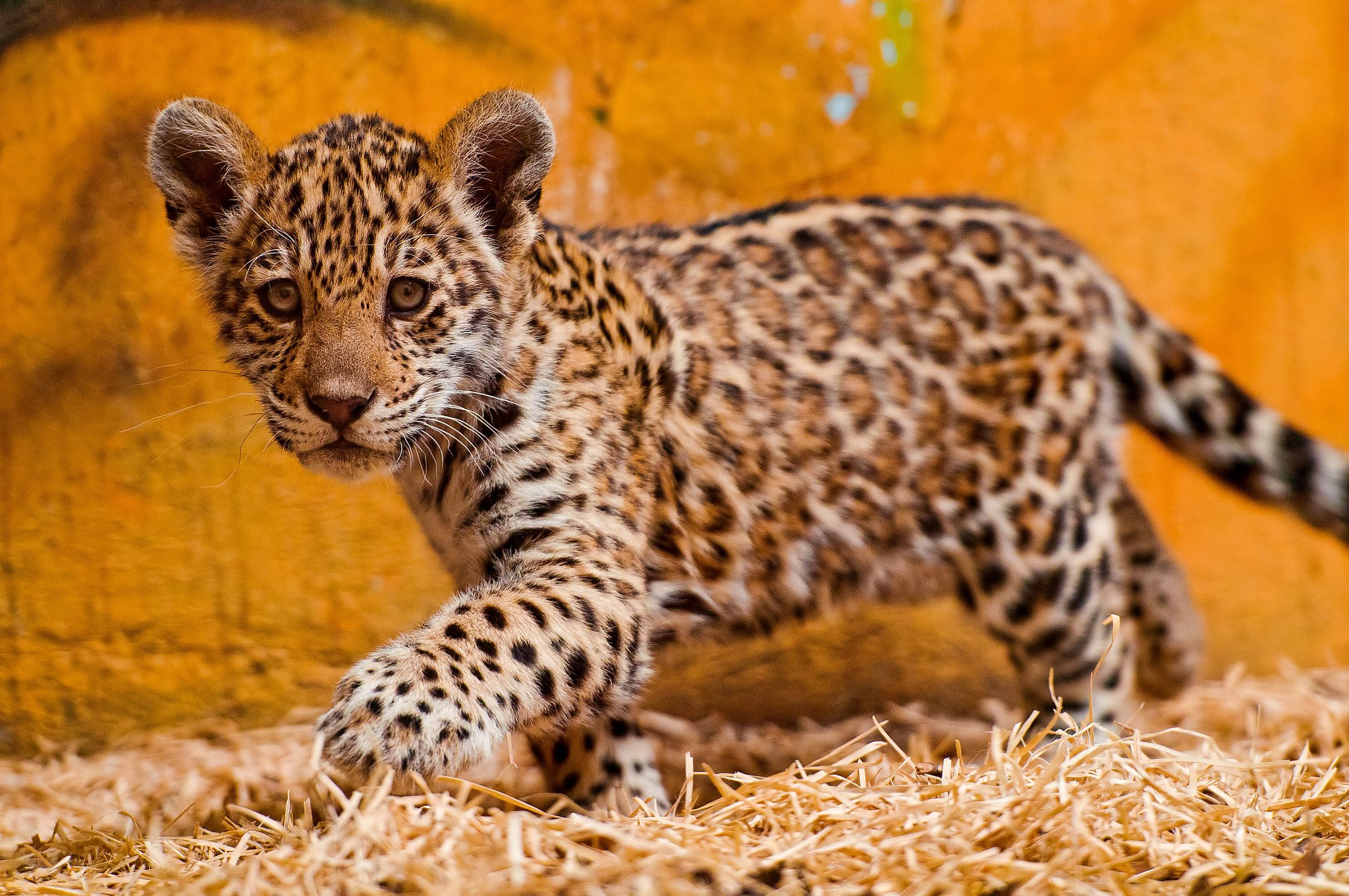 If You Want To Know More About How To Help Jaguars And Interesting Facts  About Jaguars Then Come And Look At My Website.