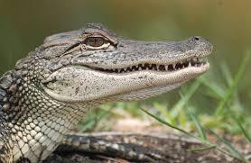 Small American Alligator pic