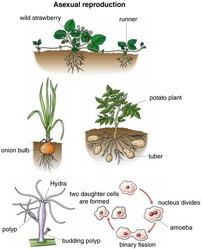 Vegetative reproduction asexual reproduction video