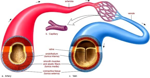 B53 keeping the blood flowing to describe and explain the differences between veins arteries and capillaries ccuart