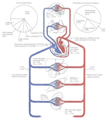 B53 keeping the blood flowing draw a diagram that explains the way arteries veins and capillaries are linked to each other and to the heart label the diagram and explain what is ccuart Choice Image