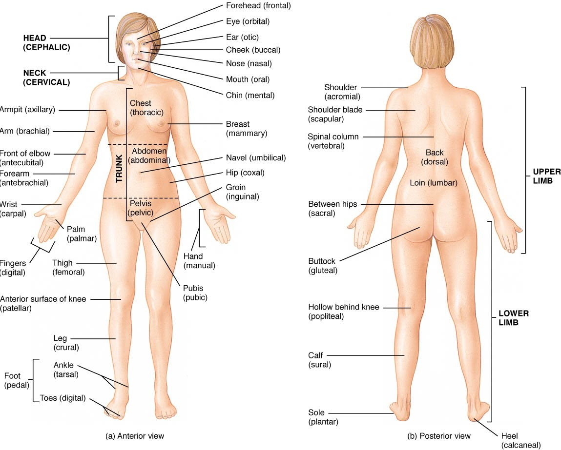 Human Body Systems - vanessad545